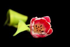 тюльпан предпосылки изолированный чернотой лежа Стоковые Изображения