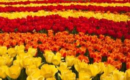 тюльпан предпосылки стоковое изображение