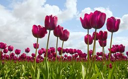 тюльпан пурпура поля Стоковое Изображение