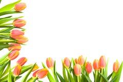 тюльпан рамки Стоковые Фото