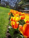 тюльпан рядка стоковое изображение