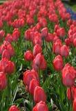 тюльпан сада Стоковые Фото