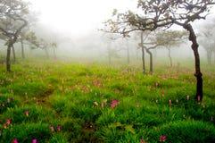 Тюльпан Сиама Стоковое Изображение RF
