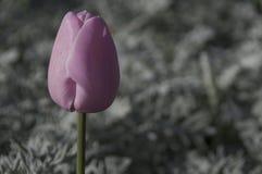 Тюльпан символ страстной любови стоковые фото