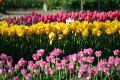Тюльпан смешивания тюльпана Veldheer на саде тюльпана Veldheer в Голландии Стоковое Изображение RF