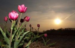 тюльпан солнца предстоящий стоковые фото