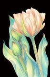 Тюльпан - состав цветков just rained Стоковое фото RF
