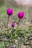 Тюльпан тюльпанов Стоковое Изображение RF