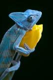 тюльпан хамелеона Стоковая Фотография