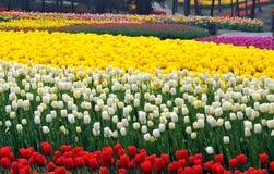 тюльпан цветка кровати Стоковое Фото