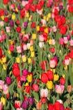 тюльпан цветка предпосылки стоковое изображение