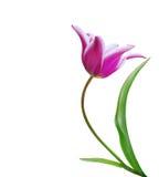тюльпан цветка розовый Стоковые Изображения RF