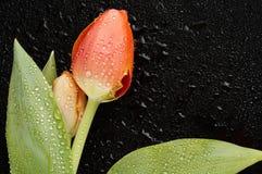 тюльпан цветка Стоковое Изображение