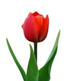 тюльпан цветка Стоковая Фотография RF