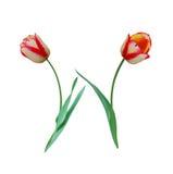 тюльпан цветка douple последний Стоковая Фотография