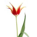 тюльпан 10 Стоковые Фото