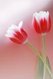 тюльпан 2 шариков красный стоковая фотография