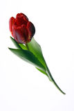 тюльпан Стоковые Фотографии RF
