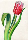 тюльпан бесплатная иллюстрация