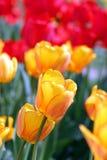 тюльпан Стоковые Изображения