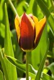 тюльпан dewdrops Стоковые Изображения