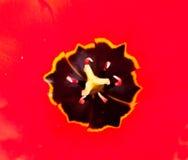 тюльпан stamen Стоковые Фотографии RF