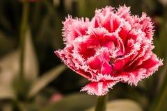 Тюльпан Terry шарлаха Стоковое Изображение RF