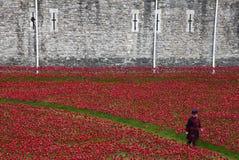 Тюремщик Йоменов среди маков на башне Лондона Стоковые Изображения RF