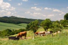 Тюрингия ландшафта с коровой Стоковая Фотография