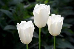 3 тюльпана белого фото Стоковые Изображения