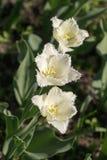 3 тюльпана белого Стоковое Фото