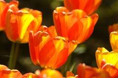 2 тюльпана цвета Стоковые Фотографии RF