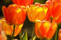2 тюльпана цвета Стоковые Изображения