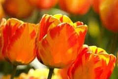 2 тюльпана цвета Стоковая Фотография