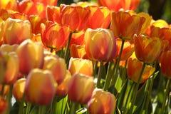 2 тюльпана цвета Стоковая Фотография RF