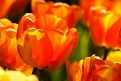 2 тюльпана цвета Стоковые Фото