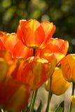 2 тюльпана цвета Стоковое Изображение RF