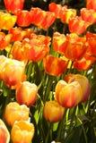 2 тюльпана цвета Стоковое Фото