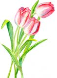 3 тюльпана Стоковое Изображение