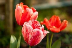 3 тюльпана Стоковые Изображения