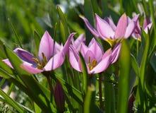 9 тюльпанов весны настроения пестроткаными установленных изображениями чудесных Стоковые Изображения
