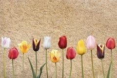 12 тюльпанов Стоковое фото RF