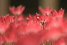 Тюльпаны Амстердама Стоковые Изображения