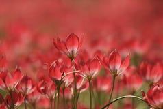 Тюльпаны Амстердама Стоковое фото RF