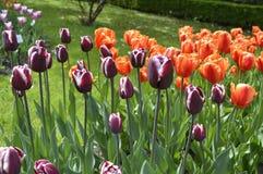 Тюльпаны апельсин и цвета пурпура в саде Стоковое Изображение RF