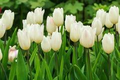 тюльпаны белые Стоковое Изображение