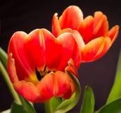 Тюльпаны весеннего времени на черноте Стоковые Изображения