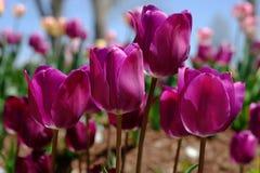 Тюльпаны весной Стоковое фото RF