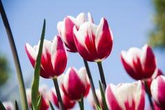 Тюльпаны весны цветков Тюльпаны сада Стоковые Фото