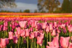 Тюльпаны восхода солнца Стоковое фото RF